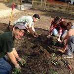 Planting heirloom tomatoes
