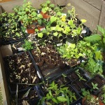 Cold Frame Plants