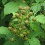 We'll have a bumper crop of raspberries