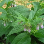 Comfrey with its pink bells
