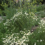 Daisies and lovage