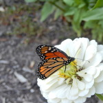 Monarch resting on zinnia